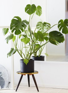 Philodendron Leef interieuradvies