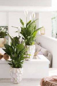 mooiwatplantendoen lepelplant leef interieuradvies